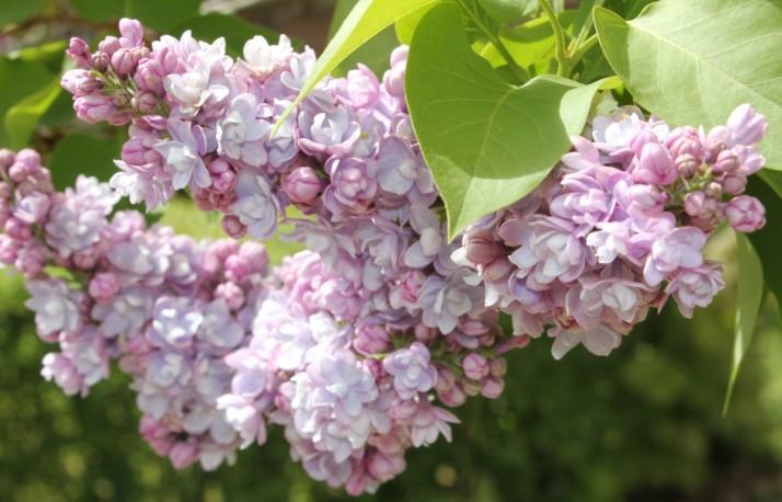 Double Lilac lavender