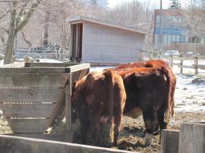Farm cattles.農場的牛群.