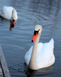 Mute swan pair 配對的疣鼻天鵝(啞音天鵝)