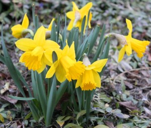 Daffodil flowers(Narcissus)水仙花