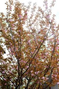 Japanese Flowering Cherry 'Kwanzan'  (Prunus serrulata 'Kwanzan')重瓣日本櫻 '關山'