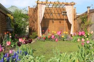 Back yard tulips後院的鬱金香群