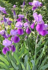 June Irises (Iris) 六月的鳶尾