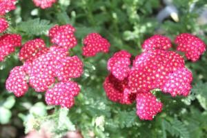 Yarrow(Achillea millefolium)歐蓍