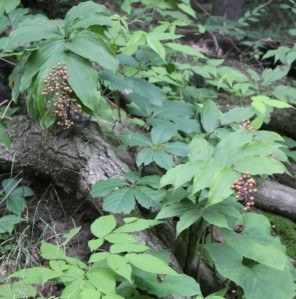 False Solomon's Seal(Maianthemum stellatum)fruiting假黃精結果中