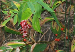 False Solomon's Seal(Maianthemum stellatum)fruit turn red in fall假黃精秋天果實轉紅