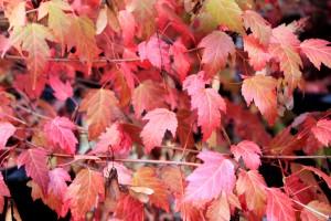 Tatarian Maple (Acer tataricum) 韃靼槭秋天葉色轉紅