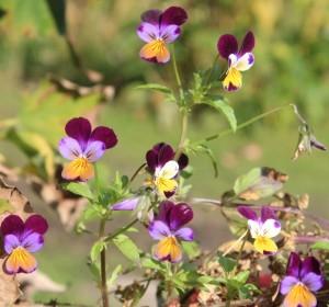 Tricolor Viola. 香堇菜.