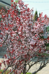 Purple-leaf Sand Cherry (Prunus x cistena)紫葉矮櫻