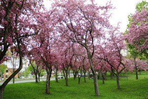 Stunning Flowering Crabapple trees in the park.(Malus) 漫步海棠林