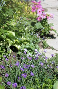 Blue-eyed grasses (Sisyrinchium bermudianum)庭菖蒲