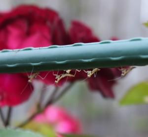 Garden gaurdian angels/warriors -- praying mantises just hatched! (Mantodea) 螳螂孵化了.