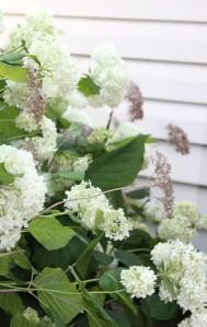 Hydrangea (Hydrangea) 繡球花
