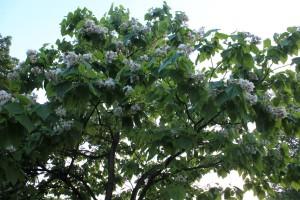 Northern Catalpa/Cigar Tree (Catalpa speciosa) 黃金樹/西美梓