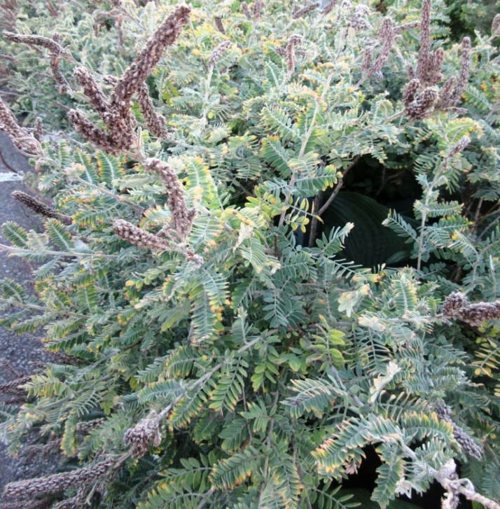 2016-08-18Lead Plant- (1) (Medium)