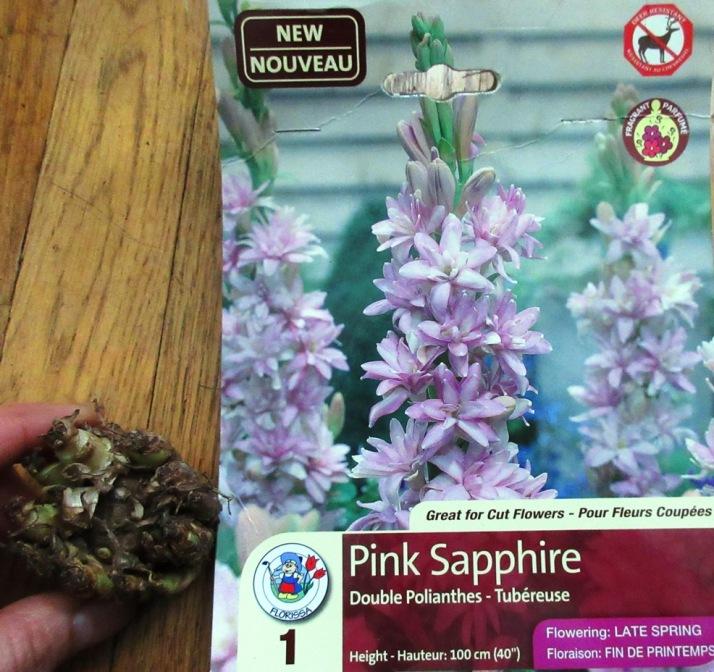 2017-03-25 Polianthes tuberosa 'Pink Sapphire' 晚香玉or夜來香 (1) - Copy
